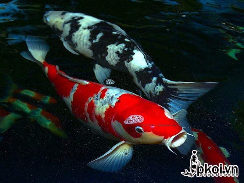 Cá Koi đẹp - jpkoi